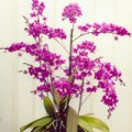 Agnes Smithson's orchid with over 300 flowers. Pic taken late 2010.