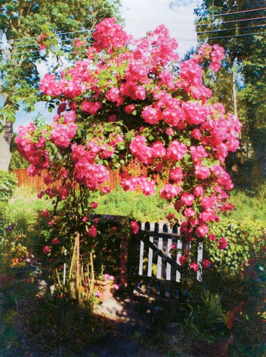 La bellissima rosa rampicante di Anne Judd ha più di 100 anni!