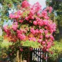 Anne Judd's beautiful rambling rose is over 100 years' old!