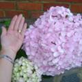 Annette's giant flowered hydrangea