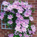 35 year old clematis fed with Flower Power for the first time