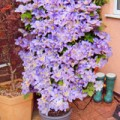 Mr & Mrs Hunter's clematis bought back to life with Flower Power