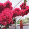Richard's bouganvillea fed regularly with Flower Power