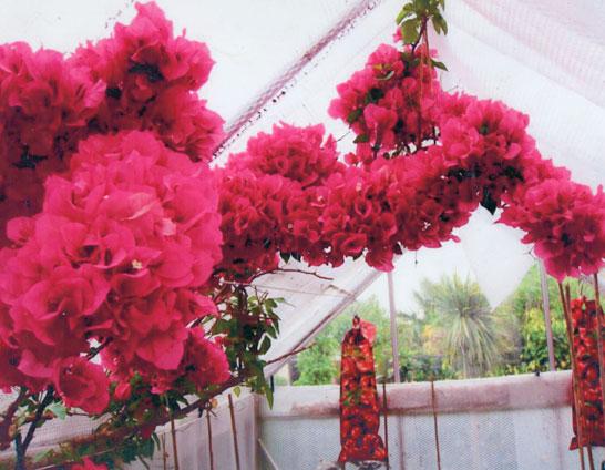 La buganvillea di Richard regolarmente nutrita con Flower Power